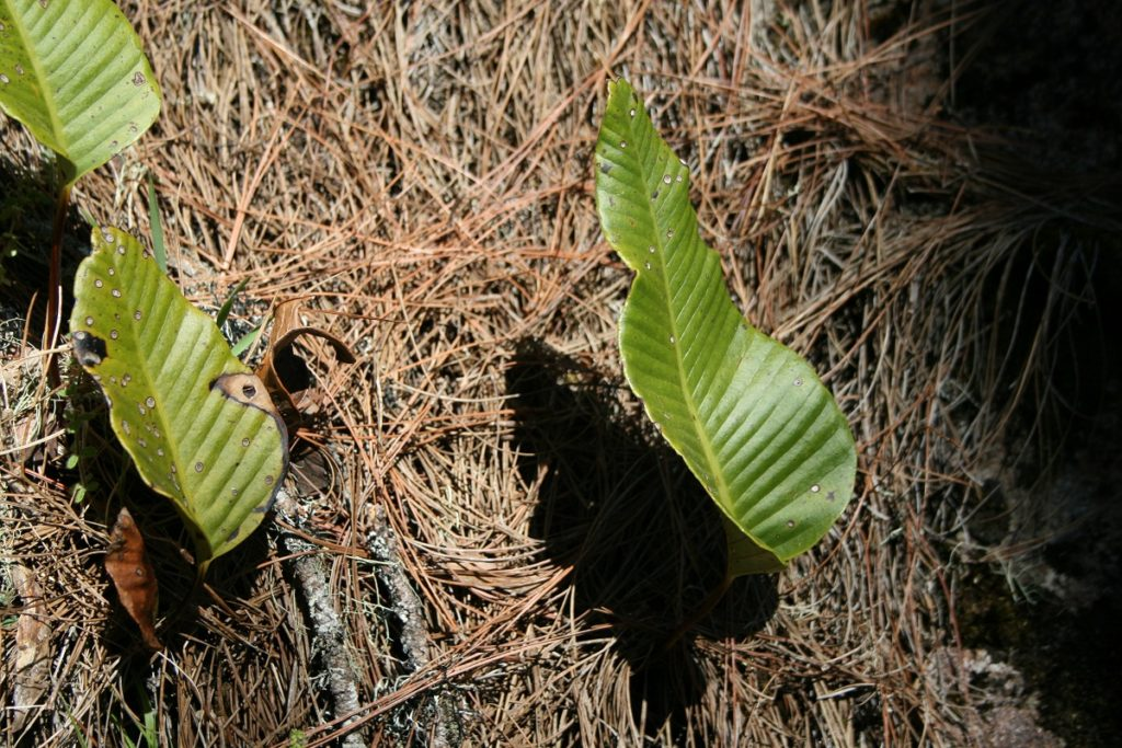 one-leaf plant, Monophyllaea sp. (?)